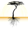 acacia tree with a root vector image vector image