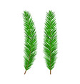 green lush spruce branch evergreen tree fir vector image