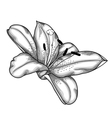 lily black and white isolated on white background vector image