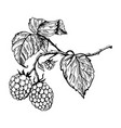 raspberry engraving vector image