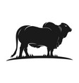 angus cow logo vector image