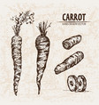 digital detailed line art carrot vector image vector image