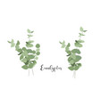 set isolated bouquets eucalyptus vector image vector image