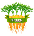 Fresh carrots with green banner vector image vector image