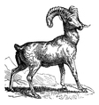 Mountain sheep vintage engraving vector image
