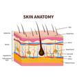 human skin layered epidermis with hair follicle vector image