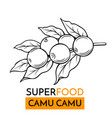 icon superfood camu camu vector image vector image