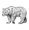 brown grizzly bear wild animal vintage vector image