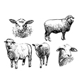 five sheeps vector image vector image