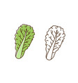 organic romaine lettuce monochrome and colorful vector image vector image