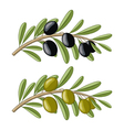 Two olive branches with black and green fruits vector image
