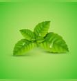 fresh mint leaf menthol healthy aroma vector image