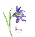 Invitation card with watercolor spring flower iris vector image