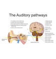 auditory system education info graphic vector image
