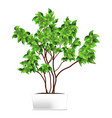 spotted plant ficus pipal in a white pot vector image vector image