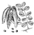 hand drawn carob pods seeds and leaves vector image vector image