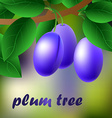 Blue-black juicy sweet plums on a branch for your vector image