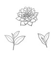 sketch lotus flower tea leaves set vector image