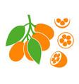 kumquat vector image vector image