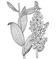 plant veratrum album vector image vector image