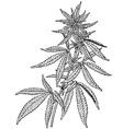 plant cannabis sativa vector image vector image