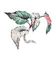 Garden coleus plant vector image