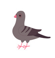Gray Pigeon Dove bird Cute cartoon character on vector image