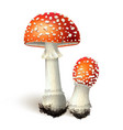 amanita mushrooms isolated on white vector image vector image