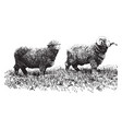 delaine merino sheep vintage vector image