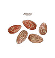 ink sketch of almond hand drawn vector image vector image