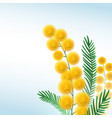 mimosa flower branch close up vector image vector image