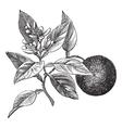 Sweet orange vintage engraving vector image vector image