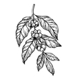 Coffee branch freehand pencil drawing vector image