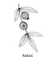 hand drawn of cabeludinha fruits on white backgrou vector image vector image