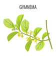 gymnema ayurvedic medicinal herb isolated on white vector image vector image