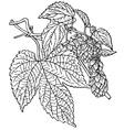 plant humulus lupulus vector image vector image