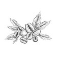 coffee beans with leaves sketching style vector image