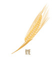 rye or wheat ear with grains isolated on white vector image vector image