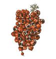 hand drawn guarana branch vector image vector image