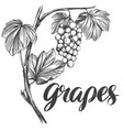grape vine grape calligraphy text hand drawn vector image