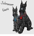 dogs breed Giant Schnauzer color black vector image vector image