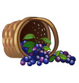 Wicker basket with spilled blueberries isolated on