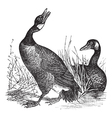 Canadian Goose vintage engraving vector image vector image