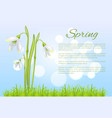 spring poster with text and snowdrop galanthus bud vector image