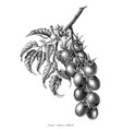 grape tomato branch vintage engraving vector image