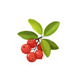 cranberry icon isolated vector image vector image