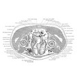 cross section trunk above pubic symphysis vector image vector image