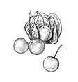 hand drawn physalis isolated on white background vector image vector image