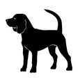 beagle purebred dog vector image vector image