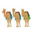 cute camels dromedary vector image